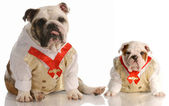 Two english bulldogs wearing matching shirt and tie — Stock Photo