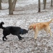 Royalty-Free Stock Photo: Mix breed and golden retreiver fight over stick