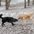 Mix breed and golden retreiver fight over stick - Stock Photo