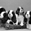 American cocker spaniel puppy in a basket full of stuffed look a likes — Stock Photo
