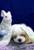 9 week old american cocker spaniel puppy with easter bunny — Stock Photo