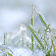 Stock Photo: Blades of green grass with a thick layer of ice - after an ice storm