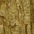 Bark of basswood or tilia americana tree - Stock Photo