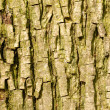 Bark from a bitternut hickory or carya cordiformis tree - Stock Photo