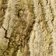 Sugar maple or acer aaccharum bark - Stock Photo