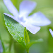 Periwinkle or vinca minor blossom - Stock Photo