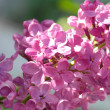 Lilac macro from a lilac bush - state flower of New York - Stock Photo