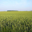 Wheat field landscape in south western ontario - Stock Photo