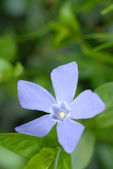 Periwinkle or vinca minor blossom — Stock Photo