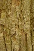 Bark of basswood or tilia americana tree — Stock Photo
