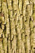 Bark from a bitternut hickory or carya cordiformis tree — Stock Photo