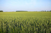 Wheat field landscape in south western ontario — Stock Photo