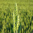 Early summer wheat crop from southwestern ontario - Stock Photo