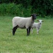 Three week old ewe and lamb out in pasture - Stock Photo