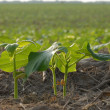 Early summer soy bean plants in field in south western Ontario - Stock Photo