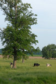 Grazing holstein cows in pasture in southwestern ontario — Stock Photo