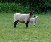 Three week old ewe and lamb out in pasture — Stock Photo