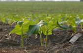 Early summer soy bean plants in field in south western Ontario — Stock Photo