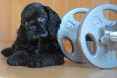 重量ワークアウトの子犬 (子犬 — ストック写真