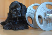 Cocker spaniel puppy with work out weights — Stock Photo