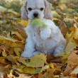 Stock Photo: Cocker spaniel puppy playing in autumn leaves