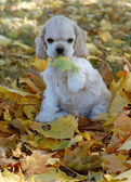 Cocker spaniel puppy playing in the autumn leaves — Stock Photo