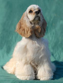 Cocker spaniel breed with green background (champion bloodlines) — 图库照片
