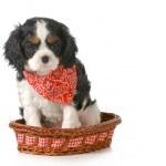 Постер, плакат: Spaniel puppy
