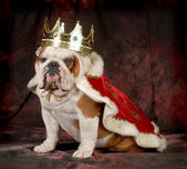 Spoiled dog — Fotografia Stock