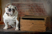 Bulldog inglese — Foto Stock