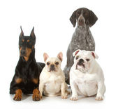 Four different purebred dogs — Stock Photo