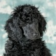 Standard poodle puppy — Stock Photo #38304585