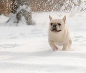 Cane giocare nella neve — Foto Stock