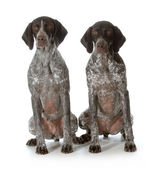 German shorthaired pointers — Stock Photo