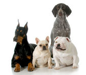 Four different breeds — Stock Photo