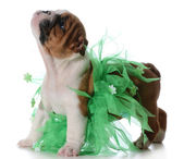 Cute female puppy — Stock Photo
