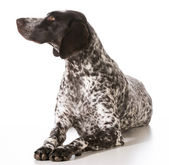 German shorthaired pointer female — Стоковое фото