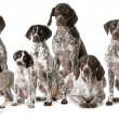 Stock Photo: Germshorthaired pointers