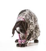 Yaramaz köpek — Stok fotoğraf