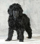 Standard poodle puppy — Stock Photo