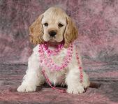 Femmina di spaniel cucciolo — Foto Stock