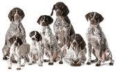 Alman shorthaired işaretçiler — Stok fotoğraf