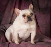 Franse bulldog — Stockfoto