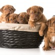 Litter of puppies — Stock Photo