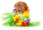 Hula dog — Foto Stock