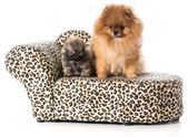 Pomeranian adult and puppy — Stock Photo