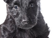 Scottish Terrier puppy — Stock Photo