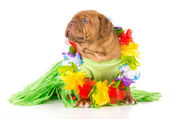 Hula dog — Stock Photo