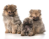 Pomeranian puppies — Stock Photo