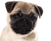Pug puppy portrait — Stock Photo
